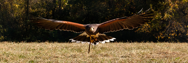 Falconry Header